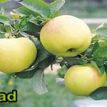 yellow tree apples for sale